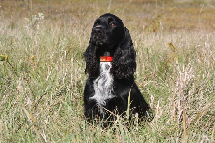 Field Spaniel ~ Classic Look & Trim ~ CH Wolftrees One Over Par CDX RE MH WD