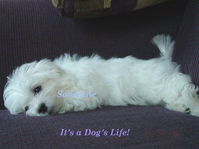 I know its not a lab but i still like these lil guys! Maltese Puppies | Maltese Breeders | Maltese Puppies For Sale