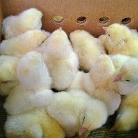YUMURTALIK TAVUK-CİVCİV-HİNDİ: etlik civciv-toptan beyaz kırmızı etlik civciv-etlik yarka-etlik tavuk satışı