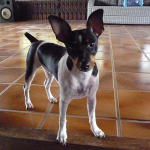 Raça Terrier Brasileiro