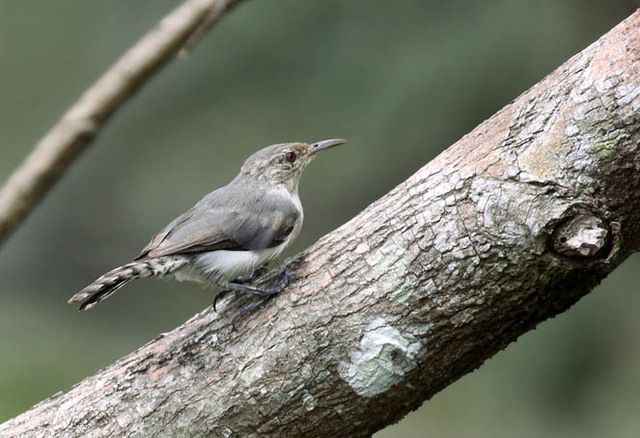 Foto cambaxirra-cinzenta (Odontorchilus cinereus) por Edson Endrigo | Wiki Aves - A Enciclopédia das Aves do Brasil