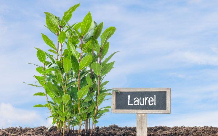 Beneficios de la planta de Laurel