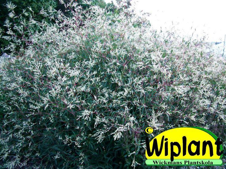 Aconogonum divaricatum. Vippslide-Röyhytatar. Ett enda exemplar kan växa ca 2 m i diameter och 120-150 cm högt. Skira fina blommor.