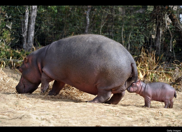 A six-day-old hippopotamus is pictured next to his mother, Kara, aged 21, on September 12, 2012 at 'Planet sauvage' (Wild Planet) zoo in Port-Saint-Pere, western France. The birth, a rare event for this species in captivity, occurred on September 7, 2012 in the zoo.