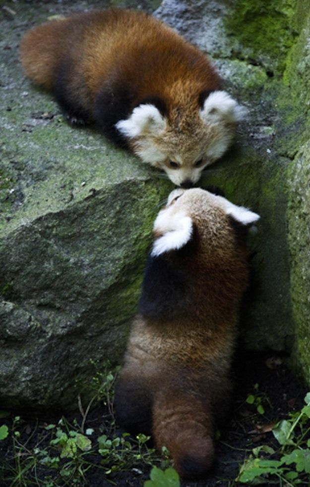 Or like this red panda kissing another red panda from above.