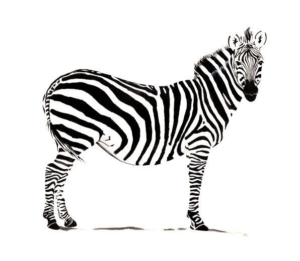 #zebra #illustration by Gypsy Ballads