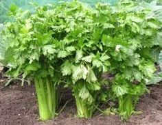 Guide to Growing Celery Celery - Apium graveolens Garden celery is derived from the wild plant sometimes known as 'smallage' which grows in moist places in many parts of the world. It was grown in France and