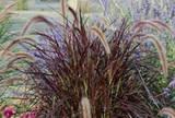 Picture of Pennisetum setaceum 'Rubrum.' purple fountain grass, Used in pots, Pennisetum setaceum 'Rubrum' is striking.