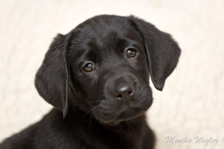 Labradorwelpe                                                                                                                                                                                 Mehr