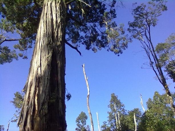 Alerce trees, in Alerce Andino NP, North PAtagonia, Chile.  www.secretpatagonia.travel