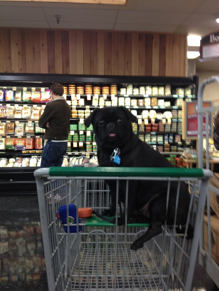 Stella the office pug at Sprouts by the office shopping for lunch.