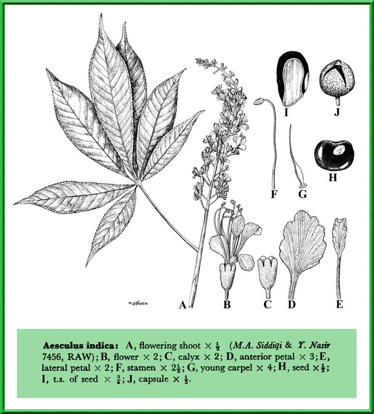 Aesculus indica in Flora of Pakistan @ efloras.org
