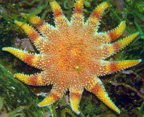 Sun star fish, radial symmetry