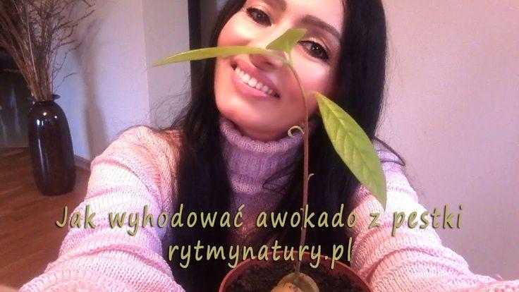 Jak wyhodować drzewko awokado z pestki :)  #rytmynatury #awokado #pestka