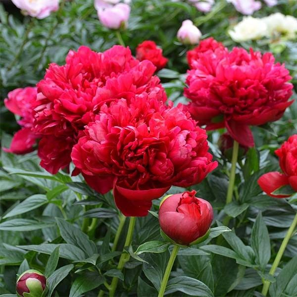Pivoine Henry Bockstoce - Paeonia (x) lactiflora - Pivoine de Chine - Des fleurs rouge sang, évoquant des roses semi-doubles - Une des meilleurs variétés à fleurs rouges!