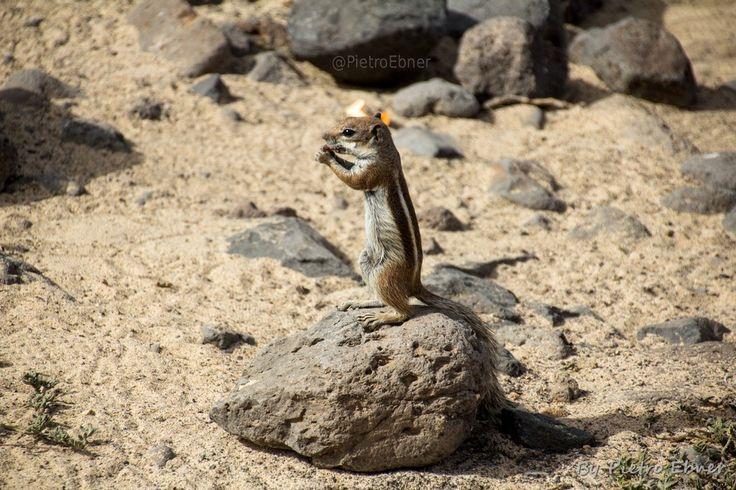 Barbary ground squirrel - By Pietro Ebner - http://pietrofoto.it - Get the fullsize photo