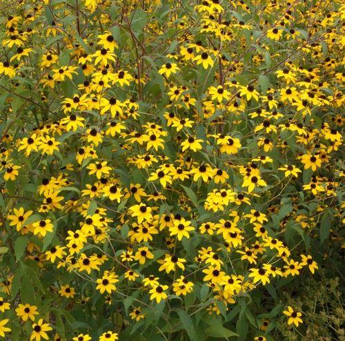 Wildflowers, Brown-Eyed Susan (Rudbeckia triloba)