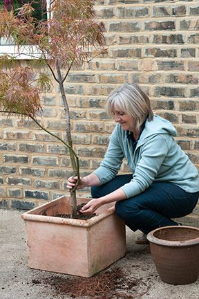 17 best ideas about trees in pots on pinterest how to for Olive trees in pots winter care
