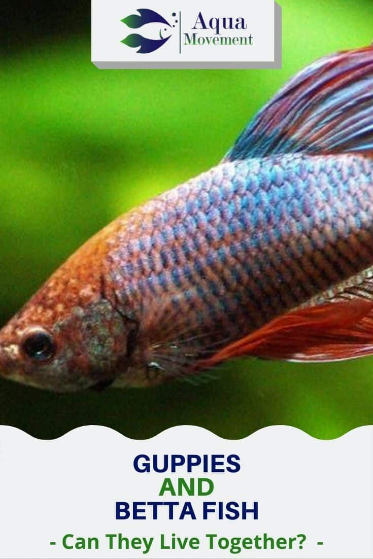 Can Guppies And Betta Fish Live Together Aqua Movement In 2020 Betta Fish Fresh Water Fish Tank Betta Fish Care