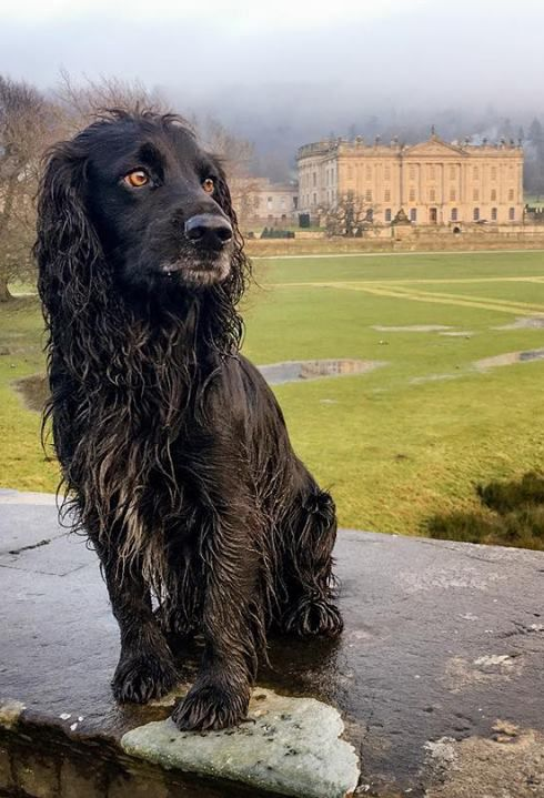 A beautiful Working Cocker Spaniel! We may be biased (towards canines) but we think this Mr Darcy, looks even better than Colin Firth in Pride and Prejudice after his dip in the lake. Follow Darcy on Facebook Darcy the Adventure Dog or Instagram @darcytheadventuredog we love this Arden Grange fuelled boy!