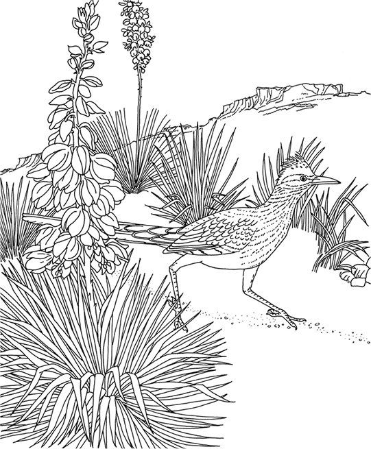 Greater Roadrunner Color Pages 3 Bird Coloring Pages Coloring