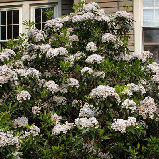 Mountain Laurel (kalmia latifolia) PA state flower- deer resistant evergreen for dry shade
