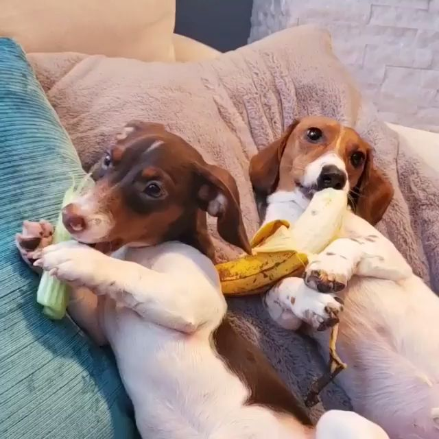 Vegetarian Dachshunds🐶🐶🥦🍌