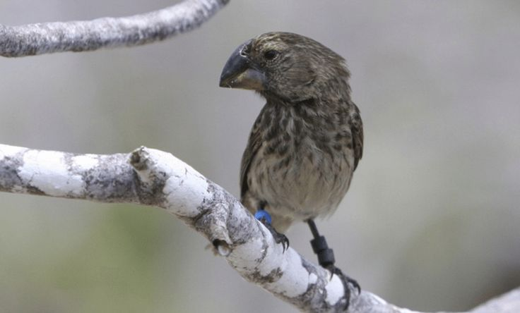 To save Darwin's finches from devastation, scientists breed hordes of blood-sucking maggots