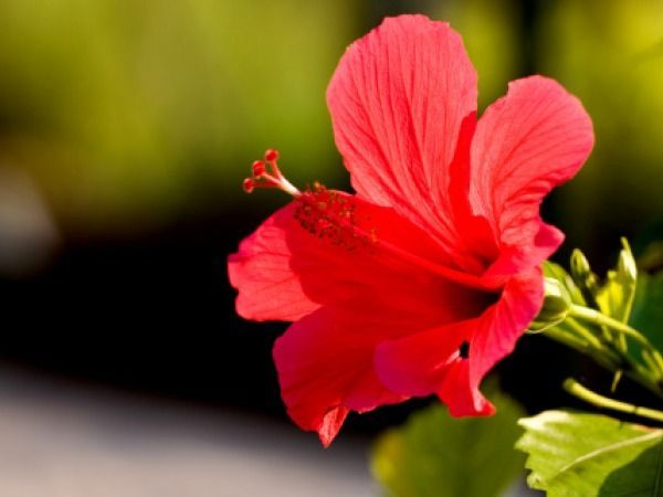 Herbs for Weight Loss # 20: Hibiscus Hibiscus is loaded with various obesity fighting agents like chromium, ascorbic acid and hydroxycitric acid (HCA). ALSO SEE: Hibiscus Tea Health Benefits