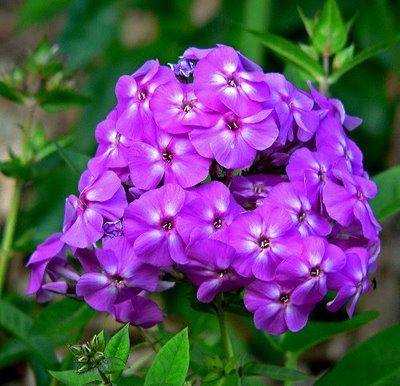 Upright Phlox: Flowers may be pale blue, violet, pink, bright red, or white. Many are fragrant. Phlox can be propagated from stem cuttings.