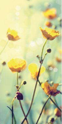 Les bouton d'or peuplent les espaces verdoyants au printemps et illuminent l'atmosphère de leur jolie couleur dorée. #boutondor #fleur