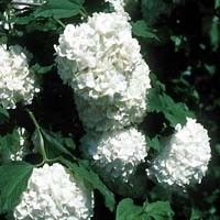 SH2400, SH2401, SH2402, Viburnum opulus, snowball bush common, common snowball bushes, comon snowball bush, common snow ball busy, commun snowball, snowballs, snowball, white flower, fall color, wildlife, bush, shrub, hedge, berries, Old World