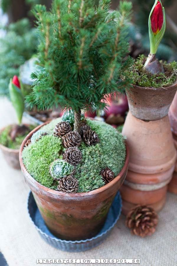 fabulous soil cover ~ succulents and pine cones