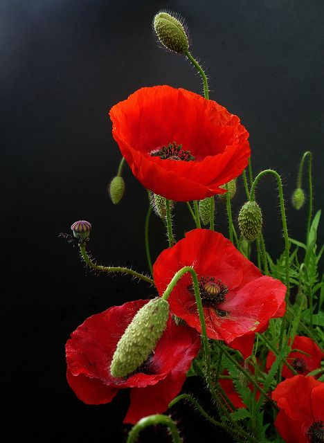 transylvanialand:  coquelicots by peltier patrick on Flickr.
