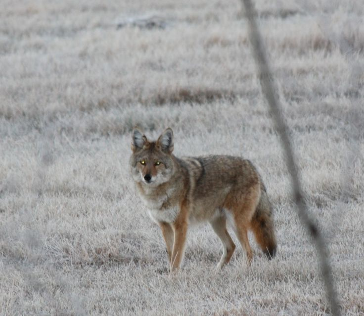 Beautiful boy on a frosty October morning. The flash of my camera caught the coyotes eyes in the early morning light.