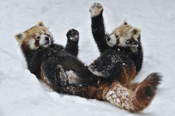 Red Pandas are the best 3