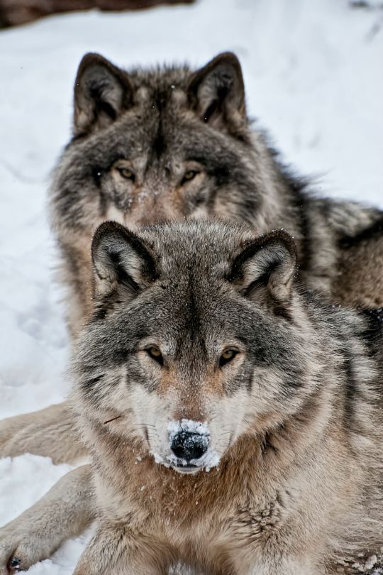 tulipnight:  Timber Wolves by Michael Cummings