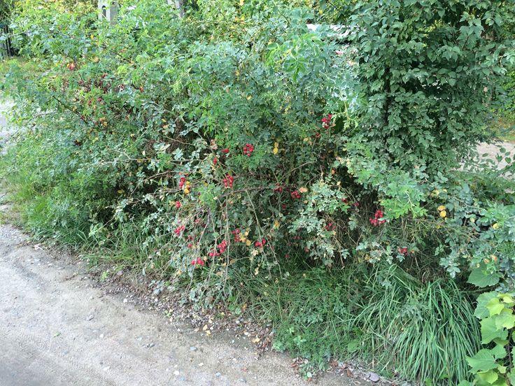 Dzika róża przy drodze. Lekko przykurzona, ale da się z niej wybrać kilka gałęzi oblepionych cynobrowo-karminowymi owocami. Gałęzie wykorzystamy do zrobienia wianka.