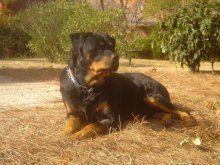 Rottweiler, características de la raza