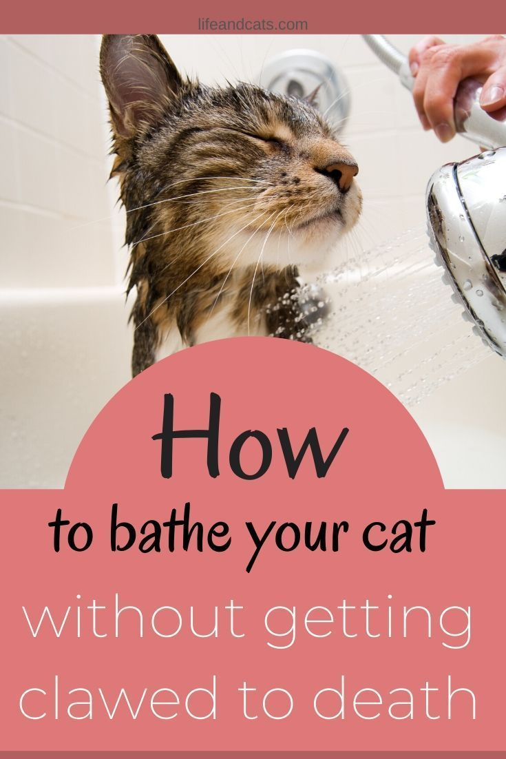 How To Bathe Your Cat Without Getting Scratched To Bits Life Cats In 2020 Cat Training Cat Grooming Kitten Care