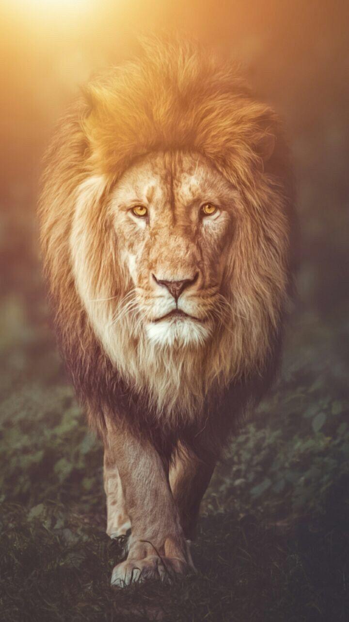 Lion Wallpaper background Lion wallpaper, Lion pictures