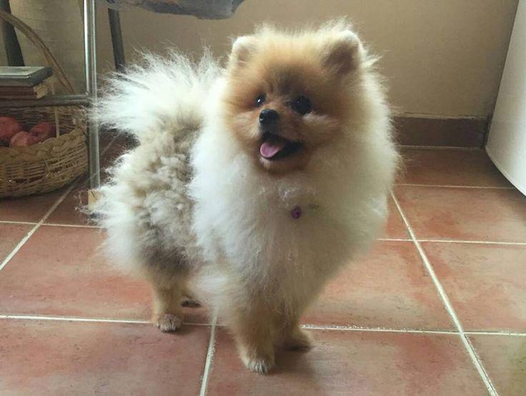 Pomeranian  Pomeranian Boo  BooDog  Bursa  Özlüce  En Güzel BooDog Yavruları  Boo  Dog