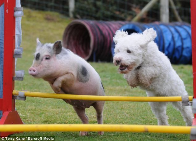 Louie the pig joined animal behaviorist Sue Williams' pack at the age of 3 months, but because he was so much smaller than the dogs he had to be separated for his own safety. When the dogs were training on the agility course, Louie would run up to the gate and excitedly watch them. One day, Sue was having a hard time getting a dog to run through a tunnel, when Louie zoomed through the tunnel instead! Since then, Louie has been training alongside the dogs and even outshines them.