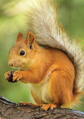 Red Squirrel #cute #nut #postcards