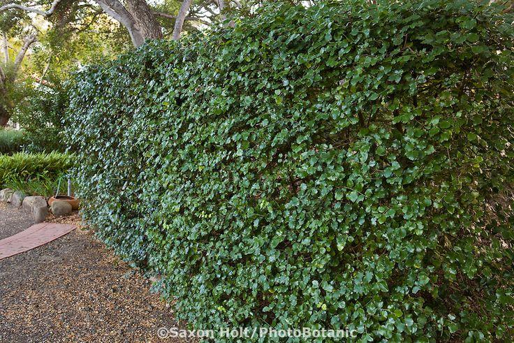 Privacy Hedge Holly Leaf Cherry Prunus Ilicifolia Of