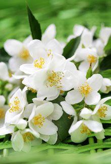 flores de jazmin