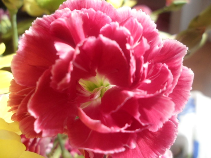 Carnations! I love taking photos of flowers!