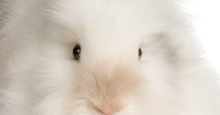 Cómo cuidar a un conejo cabeza de león. Con su melena con aspecto de gorguera de pieles, los conejos cabeza de león son sin duda atractivos, pero requieren mucha atención y cuidados. Estos conejos de pelo largo, así como los perros de pelo largo, necesitan de mucho acicalamiento. También hay problemas médicos asociados con esta raza. Aunque este tipo de conejo puede ser muy lindo, no se ...