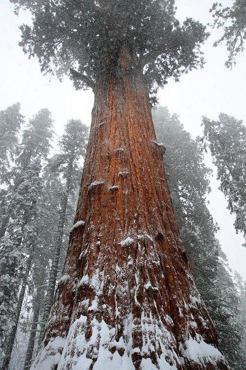 冬の伐採時期にはこんな木を切り倒します。