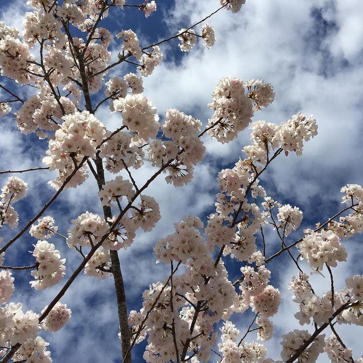 Spring is in the air.. #upperleftusa #oregon #spring #springflower #cherryblossom #portland #springblossom #forestheights